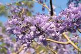 画像: 家の近くで撮ったジャカランダの花。 この季節は町中が紫色!