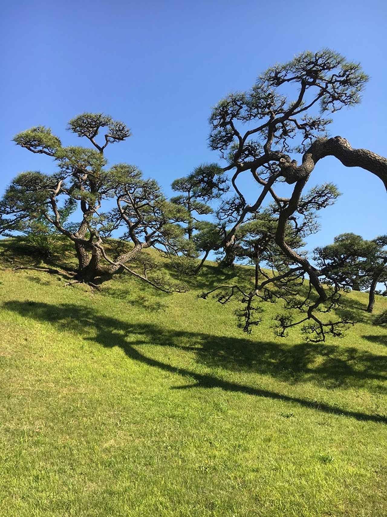 画像1: 壮観な景色!三百年の松