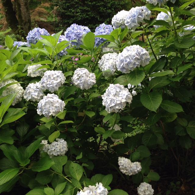 画像3: 街のいたるところに咲いているあじさい