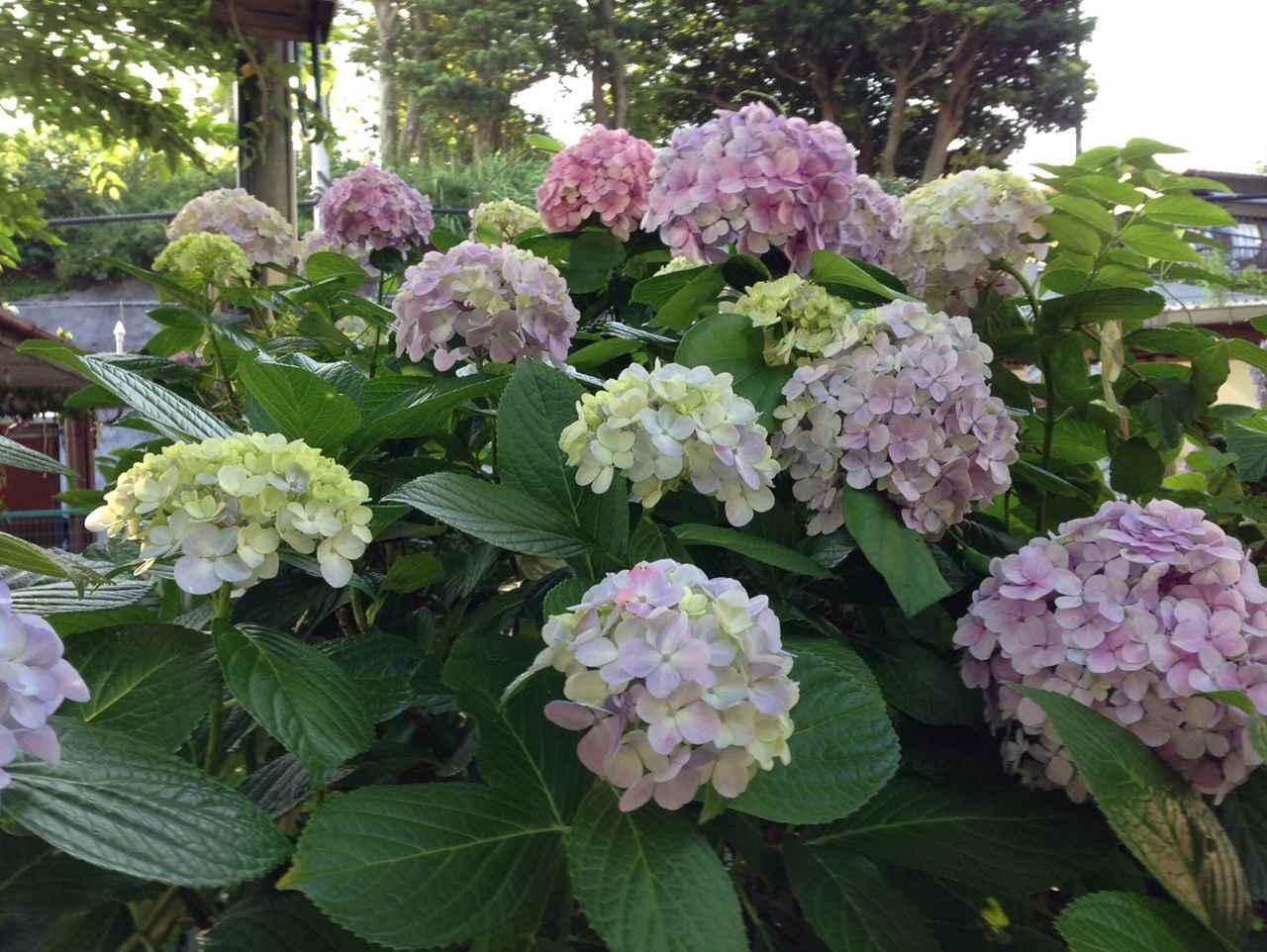 画像1: 街のいたるところに咲いているあじさい