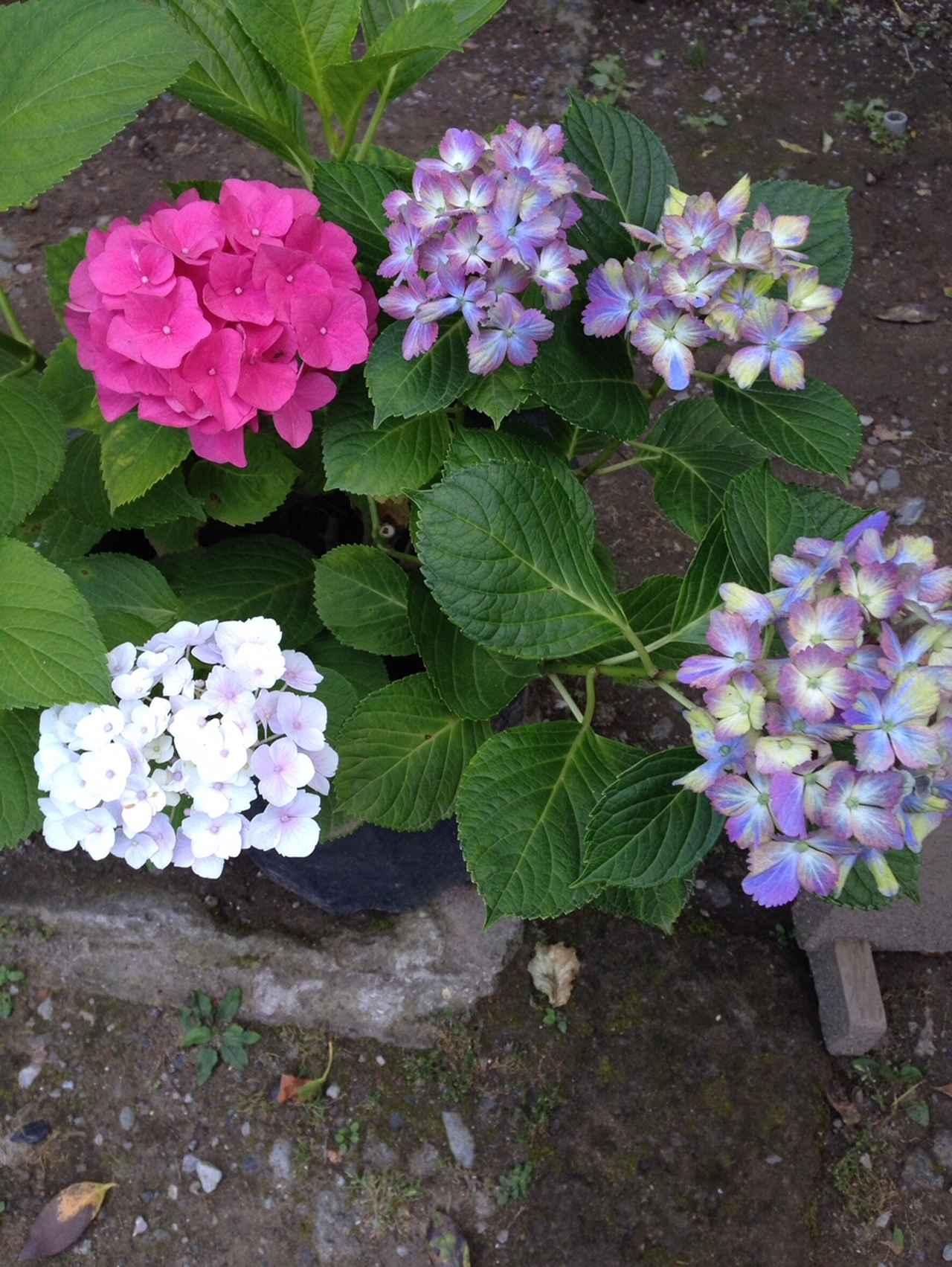 画像2: 街のいたるところに咲いているあじさい