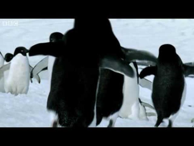 画像: Penguins - BBC youtu.be