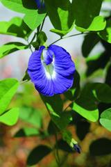 画像: 爽やかな青色の花が印象的なタイ原産のハーブ・バタフライピー