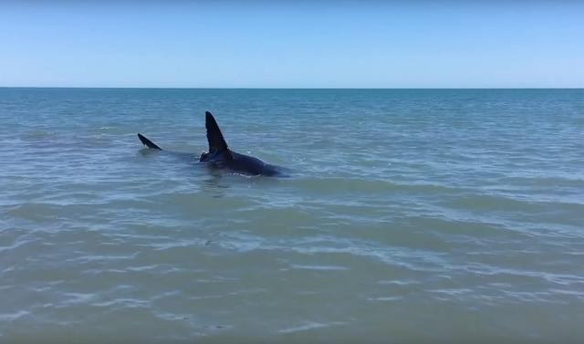 画像1: 4メートル以上のサメが家の前に!あなたはどうする?