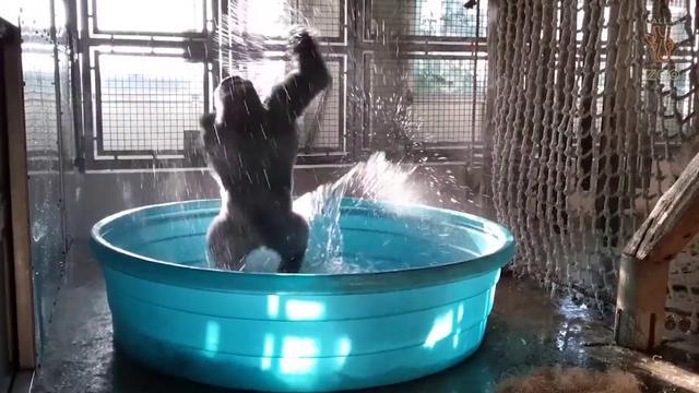 画像: Breakdancing Gorilla Enjoys Pool Behind-the-Scenes www.youtube.com