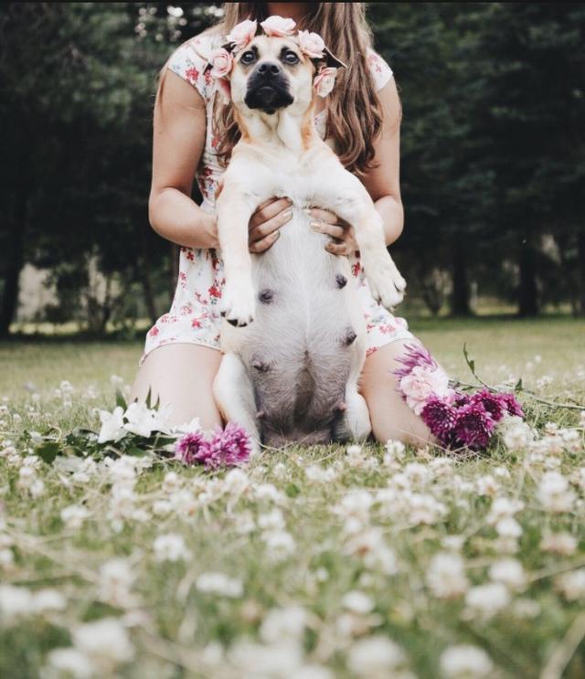 画像3: 可愛すぎ!妊娠した犬のマタニティフォトに癒される