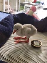 画像2: フラミンゴの赤ちゃんが可愛すぎる
