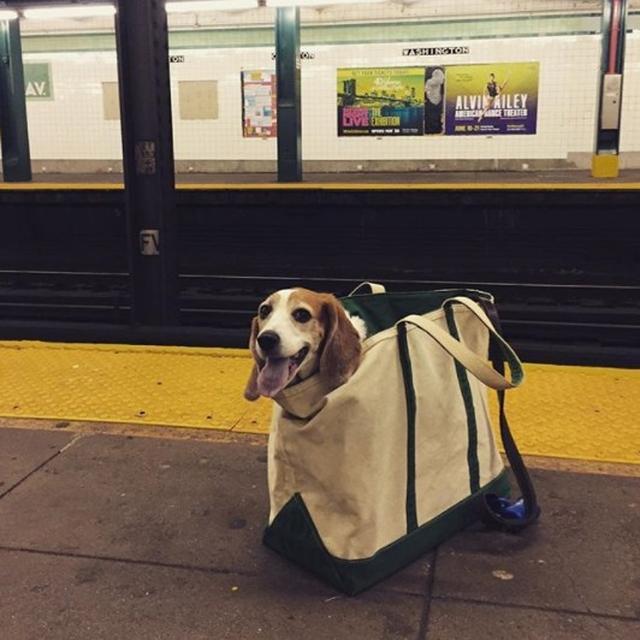 画像6: 思わず笑ってしまう鞄に入る犬たちの写真