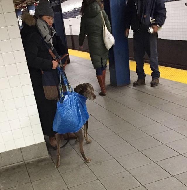 画像7: 思わず笑ってしまう鞄に入る犬たちの写真