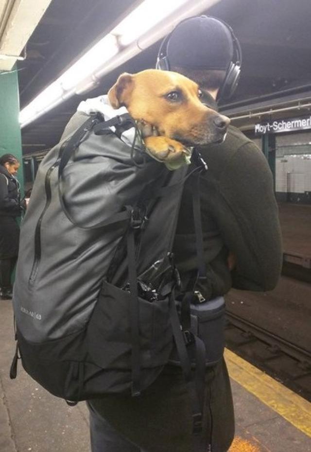 画像2: 思わず笑ってしまう鞄に入る犬たちの写真