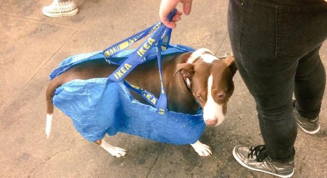 画像8: 思わず笑ってしまう鞄に入る犬たちの写真