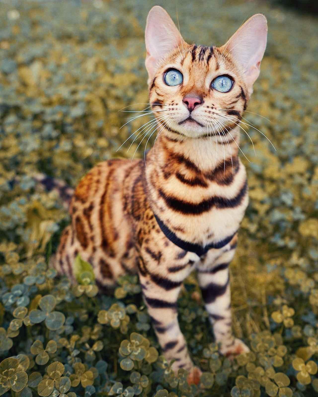 画像1: ヒョウ柄ネコで人気上昇中