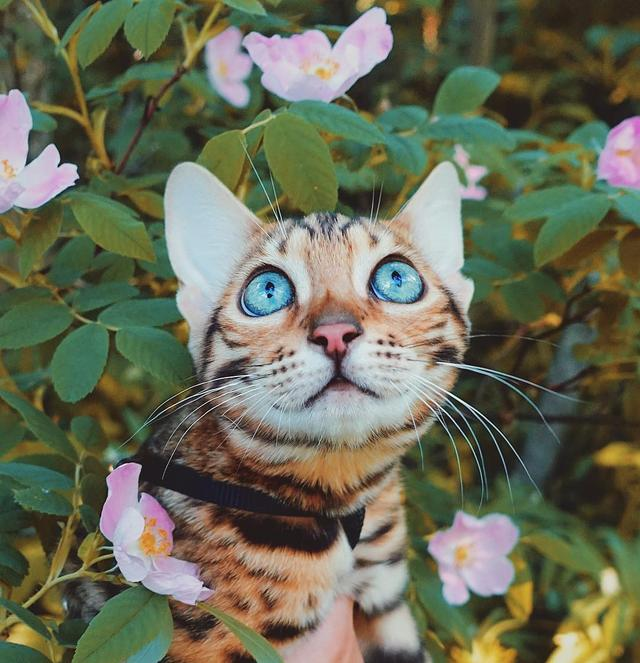 画像6: ヒョウ柄ネコで人気上昇中