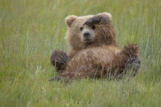 画像: 寝っ転がりながら敬礼する野生のクマが話題!可愛すぎる姿に胸キュン
