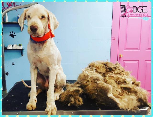 画像2: 顔も見えないほど毛むくじゃらな捨て犬が、2時間かけて美しく大変身