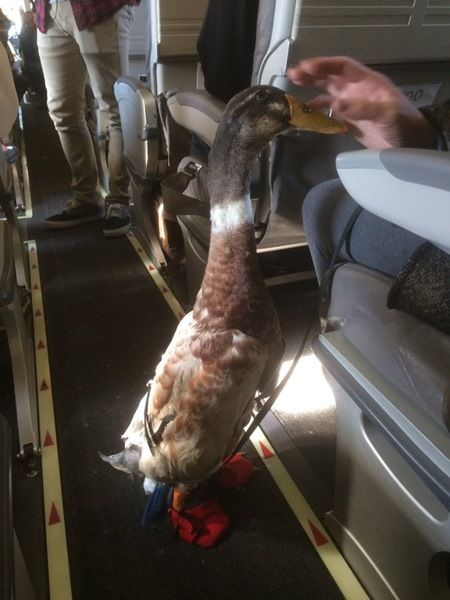 画像: 乗客へのあいさつも忘れないあひるのダニエル