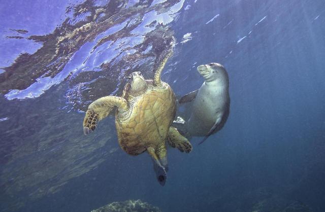 画像1: ウミガメとアザラシが仲良くじゃれ合う