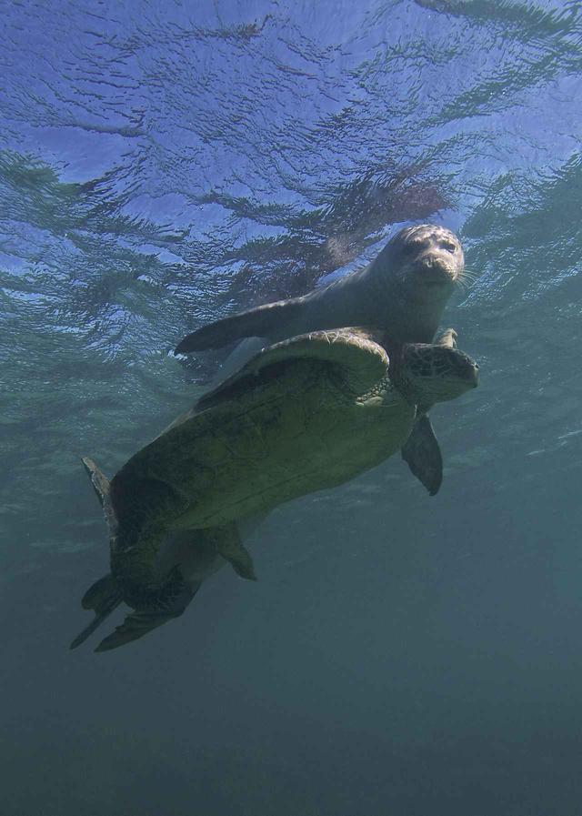 画像4: ウミガメとアザラシが仲良くじゃれ合う