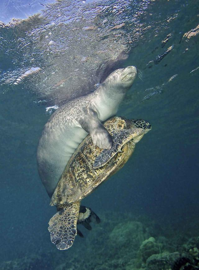 画像3: ウミガメとアザラシが仲良くじゃれ合う