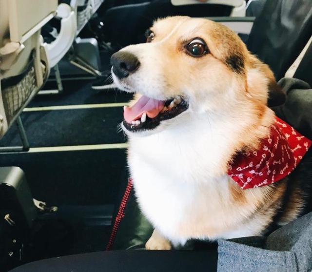 画像2: 空港で見知らぬ男性に寄り添うコーギー犬、その理由に感動