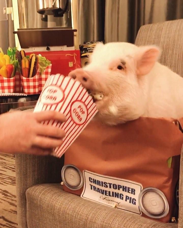 """画像1: ULTIMATE TRAVELING PIG on Instagram: """"Movies are better with SNACKS Thanks @fairmontwaterfront for the nice setup ❤️ • ⚠️ guess which movie I'm watching . . . Les soirées…"""" www.instagram.com"""