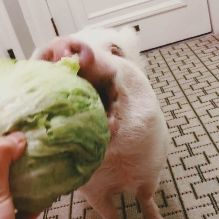 """画像1: ULTIMATE TRAVELING PIG on Instagram: """"Chomp chomp . . . . #christopherthepig #lettuce #chompchomp #healthyfood #videooftheday #sundayfunday"""" www.instagram.com"""