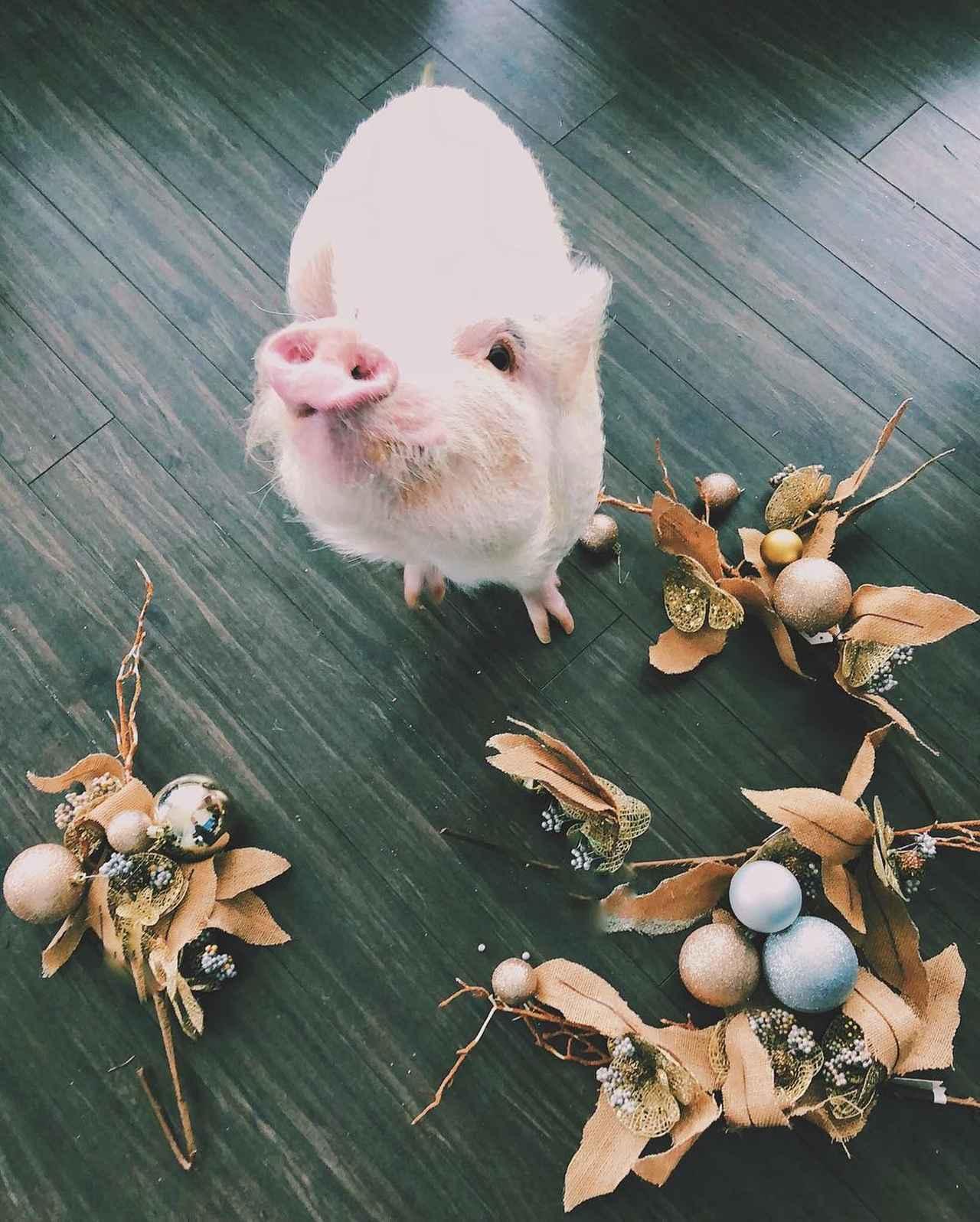 """画像1: ULTIMATE TRAVELING PIG on Instagram: """"Is the holiday over❓✨ #christopherthepig . . Est-ce que le temps des fêtes est terminé❓✨"""" www.instagram.com"""
