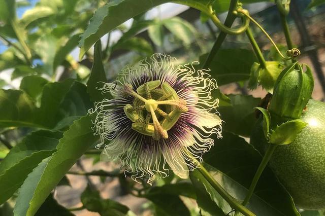 画像: リリコイの花