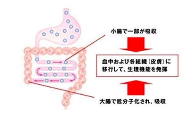 画像: 低分子化されたヒアルロン酸は腸管から吸収され血中および皮膚に移行する。