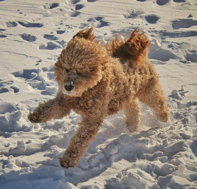 画像1: Samson The Goldendoodle (f1b)さんはInstagramを利用しています:「Beware of high winds! ❄️ #whodat  #windblown #bombcyclone」 www.instagram.com