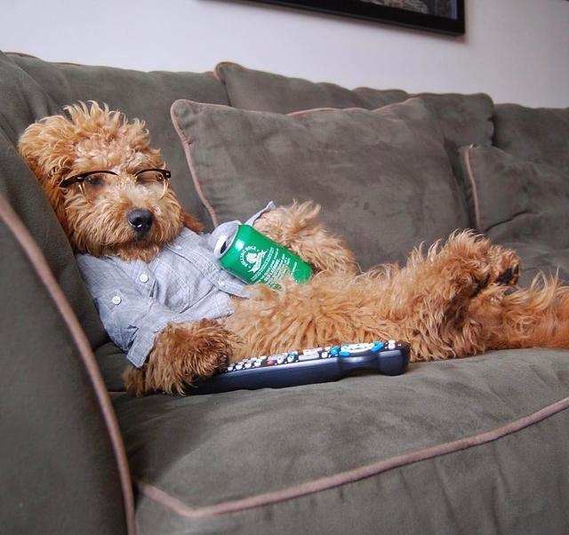画像1: Samson The Goldendoodle (f1b)さんはInstagramを利用しています:「When you wish you were just on the couch with a cold drink & a good show!  #wbw #beattheheat  #humpday  #samsonsips」 www.instagram.com