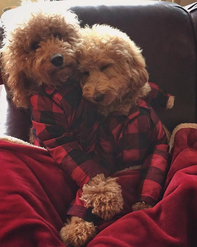 画像1: Samson The Goldendoodle (f1b)さんはInstagramを利用しています:「Under a cozy blanket, in cozy PJs is the only place I want to be tonight ☔️ #rainynight  #eveningplans ❤️ #samsonandhunter」 www.instagram.com