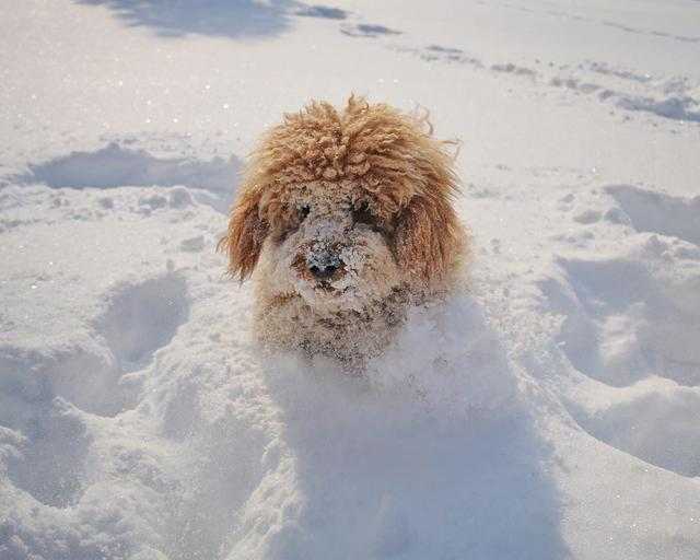 画像1: Samson The Goldendoodle (f1b)さんはInstagramを利用しています:「Who's ready for more snow?!  #sNOwWAY ❄️ or #bringitON ☃️ #snowysamson」 www.instagram.com