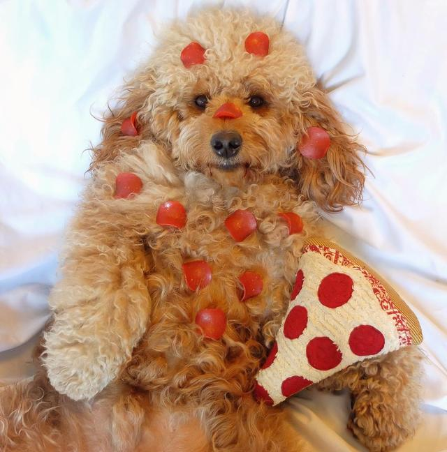 画像1: Samson The Goldendoodle (f1b)さんはInstagramを利用しています:「When #NationalPizzaDay falls on a Friday - extra PUPperoni please!! ❤️ #fbf (What's your fav  topping -  anchovies?!)」 www.instagram.com