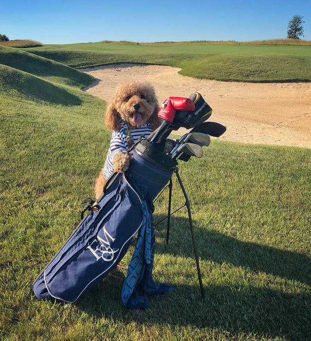 画像1: Samson The Goldendoodle (f1b)さんはInstagramを利用しています:「Golf! The art of playing fetch with yourself ‍♂️ #BEtheball ⛳️☀️#SUNdayfunday」 www.instagram.com