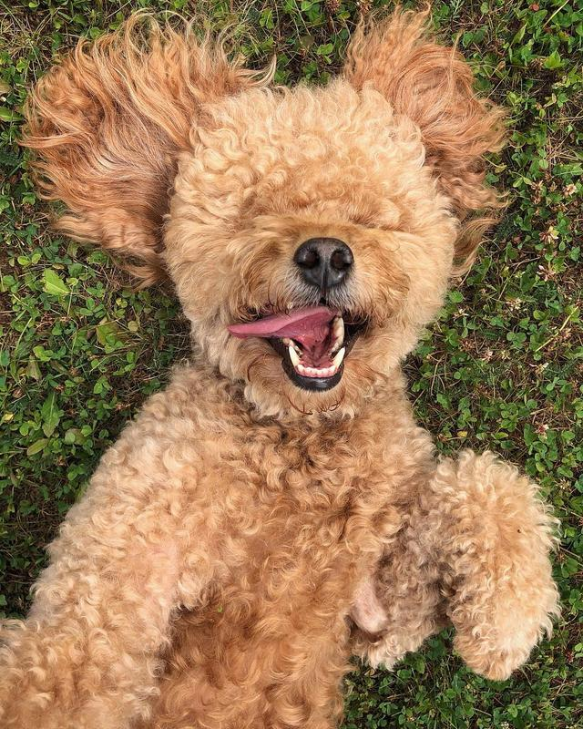 画像1: Samson The Goldendoodle (f1b)さんはInstagramを利用しています:「When you're in your happy place!  #weekendmood  #samsoninmaine  #ZEN」 www.instagram.com