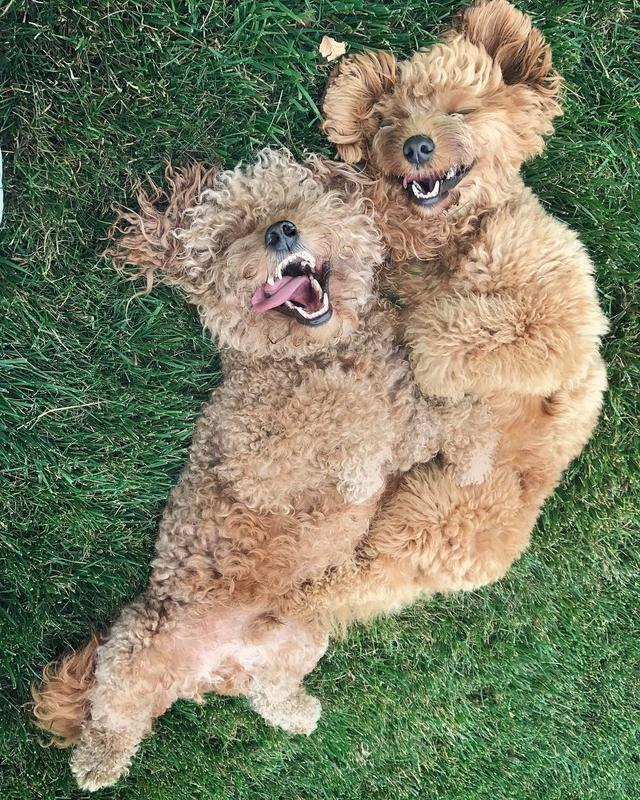 画像1: Samson The Goldendoodle (f1b)さんはInstagramを利用しています:「When you start the weekend a little bit early  #summerfridays  #paceyourself  #sidetongue  #samsonandhunter」 www.instagram.com