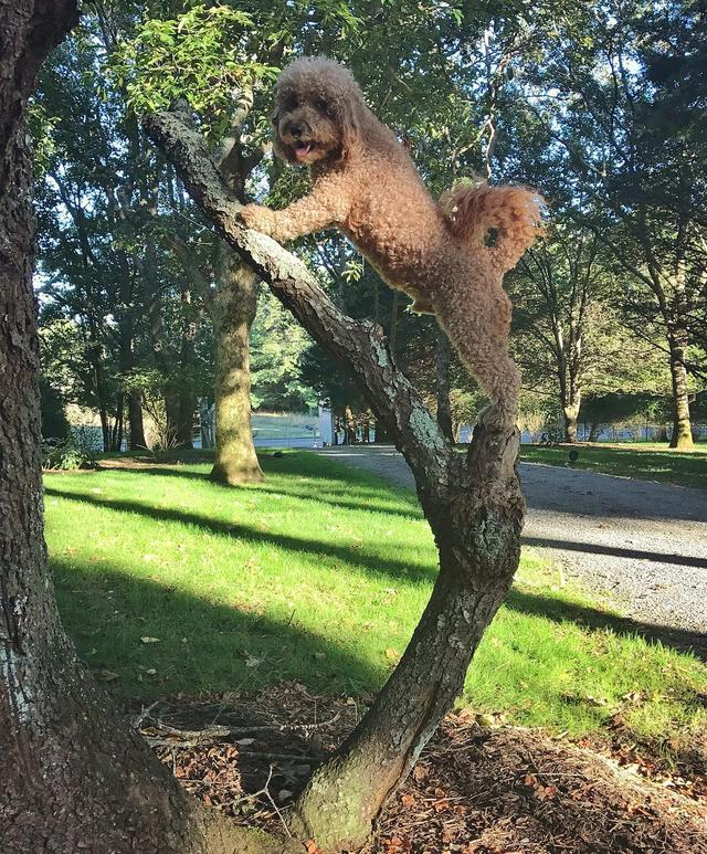 画像1: Samson The Goldendoodle (f1b)さんはInstagramを利用しています:「When you decide to go out on a limb #chaseyourdreams ✨ #cognitivesamson」 www.instagram.com