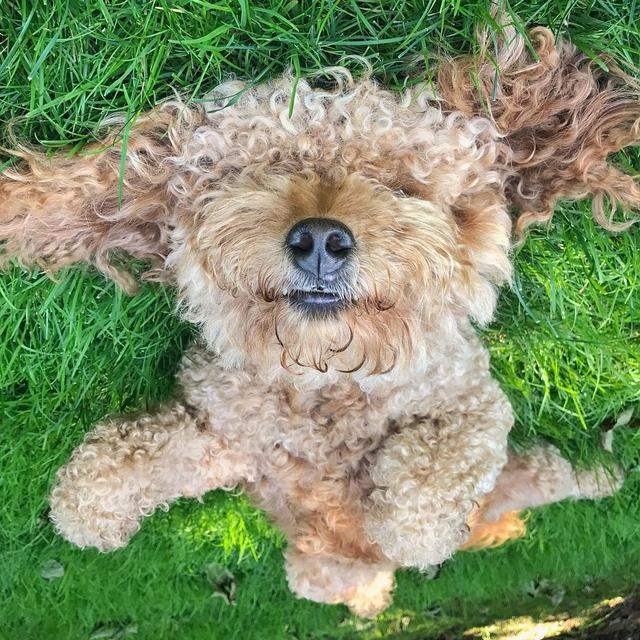 画像1: Samson The Goldendoodle (f1b)さんはInstagramを利用しています:「Taking 5!  #afternoonsiesta Thank you for all the healing vibes on my face plant the other week - almost there! ✨#BOOPmynose」 www.instagram.com