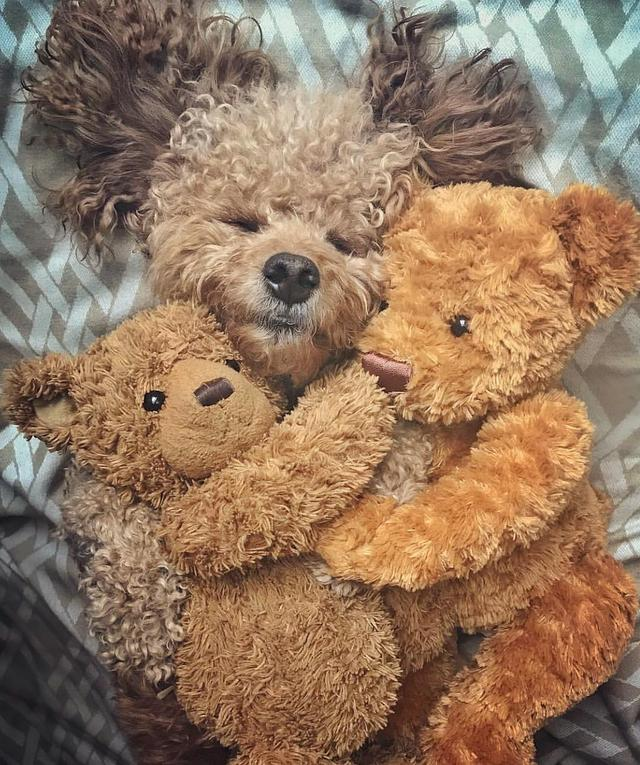 画像1: Samson The Goldendoodle (f1b)さんはInstagramを利用しています:「'The greatest happiness in this life, is to love & be loved' ❤️✨ #sentimentalsamson」 www.instagram.com