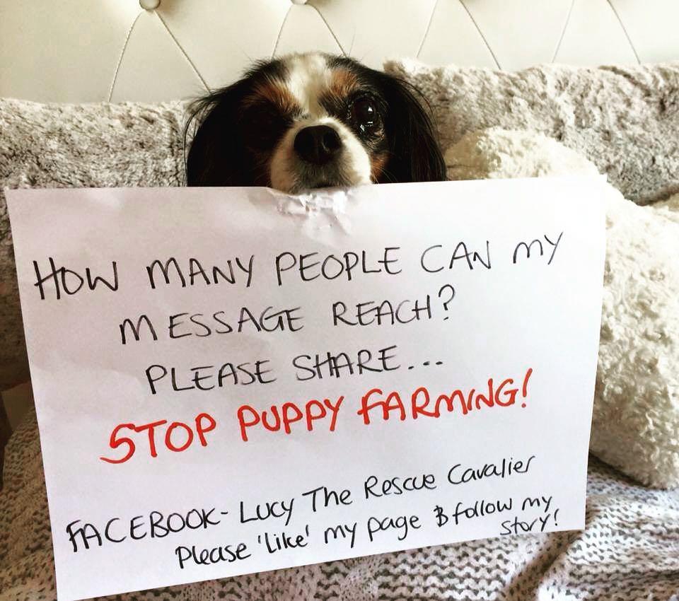 """画像1: Lucy The Rescue Cavalier on Instagram: """"Please will you help me spread my message <3 Sometimes it seems there is no light at the end of the tunnel, please keep helping us &…"""" www.instagram.com"""
