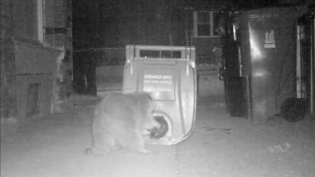 画像: Toronto raccoon caught in the act, Attempt #2 www.youtube.com