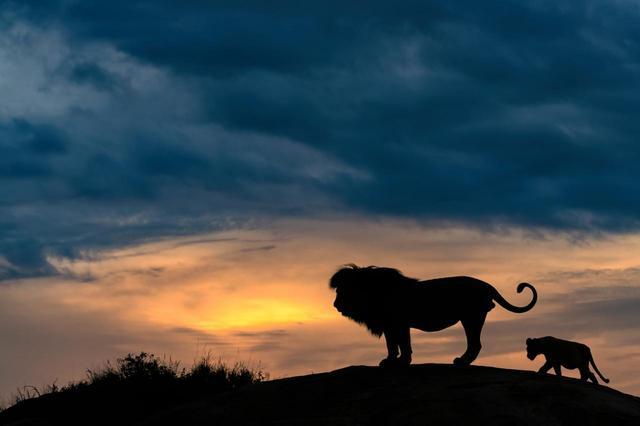 画像1: リアル『ライオン・キング』な瞬間を激写