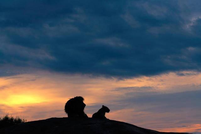 画像2: リアル『ライオン・キング』な瞬間を激写