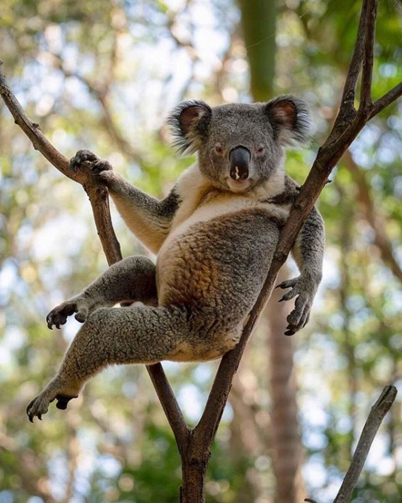 もしかして誘ってるセクシーすぎるコアラに世界中が釘づけ