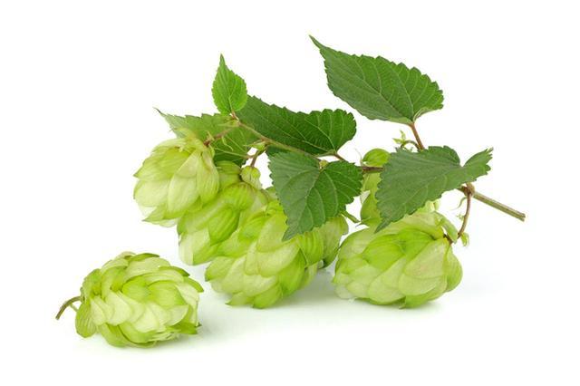 画像: ビールの原料 ホップ