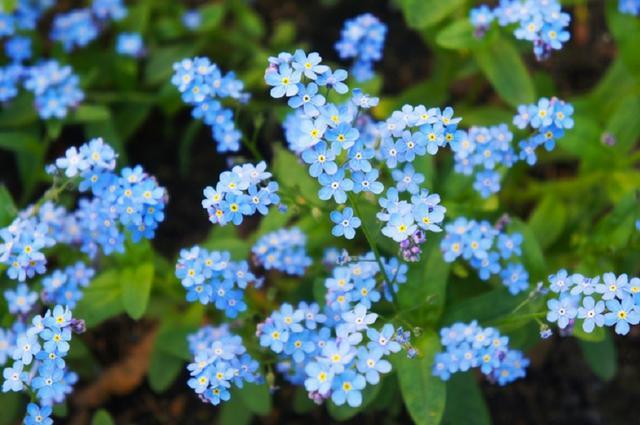 画像: ワスレナグサには、ブルー、白のほかにもピンク、紫などがある。