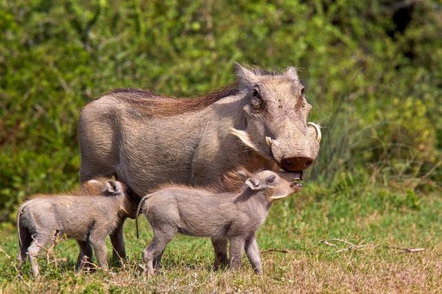 画像: 大人はのイボイノシシは確かにコワモテだけど、赤ちゃんは結構可愛い。