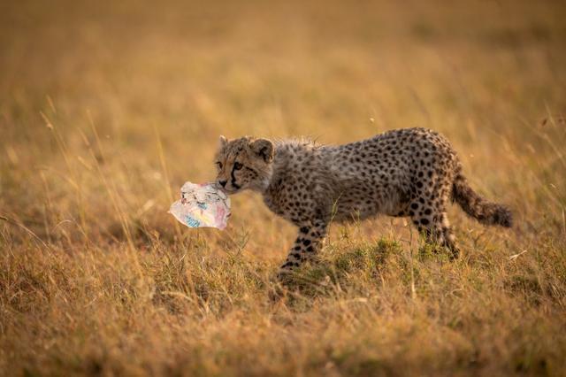 画像: ケニアの草原でプラスチックごみをくわえる子供のチーター。