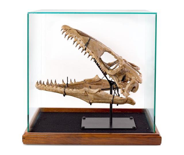 画像: ラッセルがレオナルドから購入したモササウルスの頭蓋骨。正式には白亜紀の魚竜。 www.sothebysaustralia.com.au